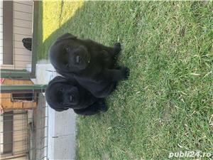 Catei Labrador cu pedigree tip A - imagine 3