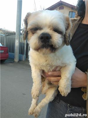 mascul shih tzu - imagine 3