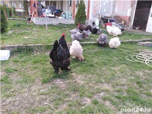 Oua găini brahma și cochin uriaș  - imagine 2