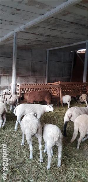 Oi de carne Suffolk,Hamshire,Cap Negru German, Camerun  - imagine 4