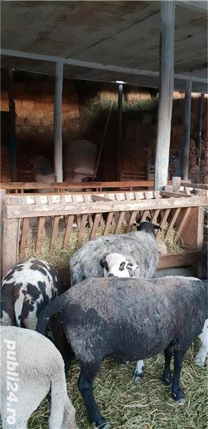 Oi de carne Suffolk,Hamshire,Cap Negru German, Camerun  - imagine 2