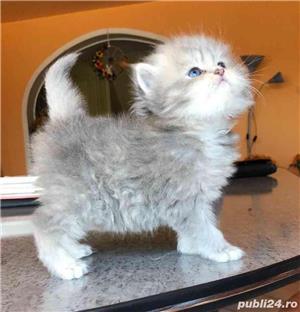 Pisici persane  - imagine 1