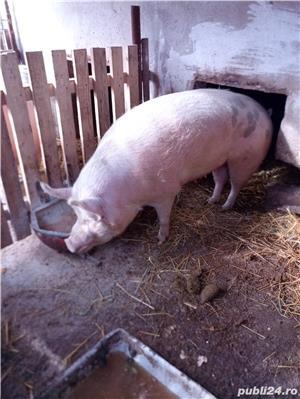 Vand Porc - imagine 4