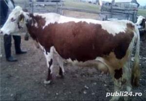 vând  vacă, Vadu Moților ,jud. Alba - imagine 1