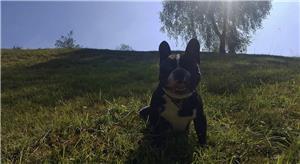 Bulldog francez pentru montă - imagine 2