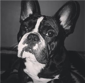 Bulldog francez pentru montă - imagine 1