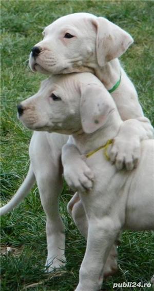 Pui Dog Argentinian - 3 luni - pedigree - 550 euro . - imagine 3
