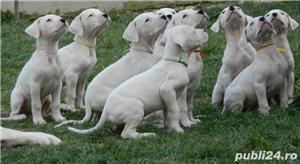 Pui Dog Argentinian - 3 luni - pedigree - 550 euro . - imagine 1