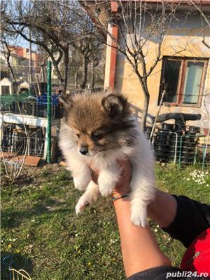Pomeranian Talie Mica/Tip Boo - imagine 5