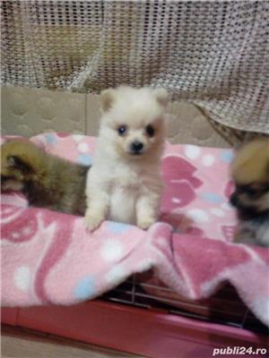 Pomeranian Talie Mica/Tip Boo - imagine 4