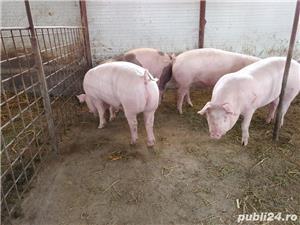 Porci de vanzare 100-140kg! - imagine 2