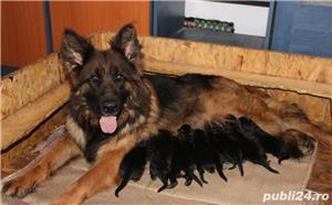 Vand pui ciobanesc german cu par lung, cu pedigree, din parinti campioni, calitate Germania - imagine 3