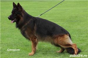 Vand pui ciobanesc german cu par lung, cu pedigree, din parinti campioni, calitate Germania - imagine 2