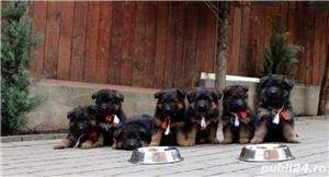 Vand pui ciobanesc german cu par lung, cu pedigree, din parinti campioni, calitate Germania - imagine 5