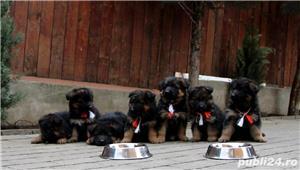 Vand pui ciobanesc german cu par lung, cu pedigree, din parinti campioni, calitate Germania - imagine 7