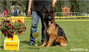 Vand pui ciobanesc german cu par lung, cu pedigree, din parinti campioni, calitate Germania - imagine 4