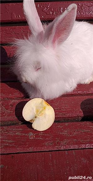 Vand iepuri  albi cap de leu mari  cu blana stralucitoare150 lei frumoși pentru copiiii  - imagine 4