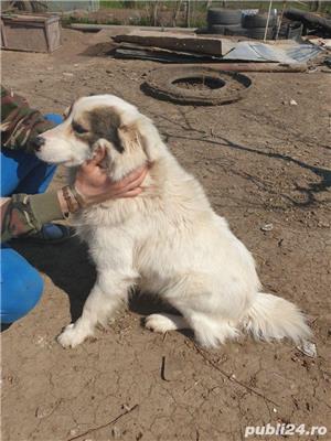 vând Câine Ciobanesc pentru curte - imagine 5