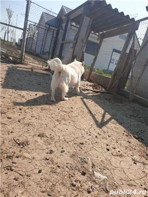 vând Câine Ciobanesc pentru curte - imagine 4