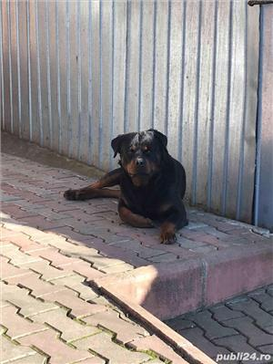 Rottweiler pt montă! - imagine 2