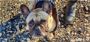 Bulldog Francez  - imagine 4