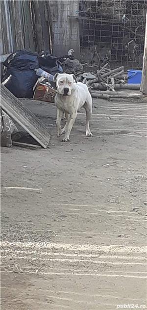 De vanzare dog argentinian - imagine 5