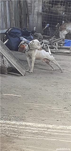 De vanzare dog argentinian - imagine 2