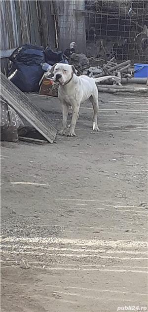 De vanzare dog argentinian - imagine 3