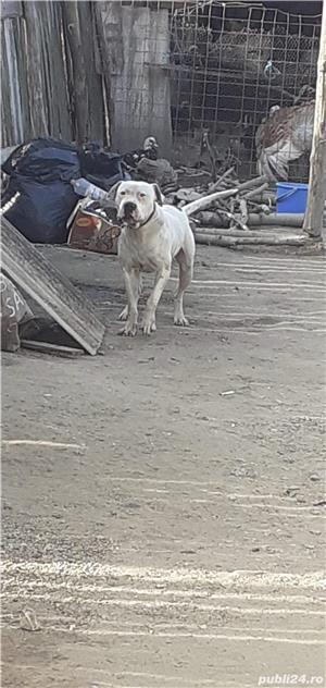 De vanzare dog argentinian - imagine 4