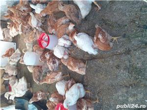 Pui ouă si carne - imagine 1