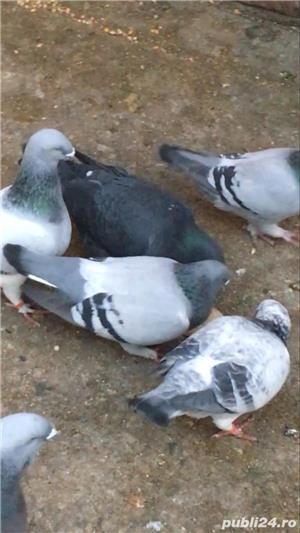 Porumbei jucatori de vânzare  - imagine 3