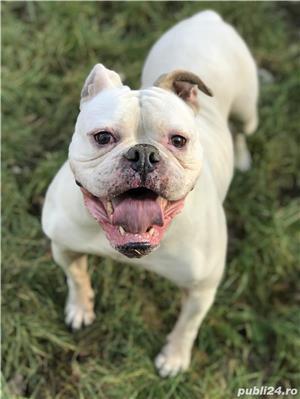 Femela bulldog american cu pedigree - imagine 3
