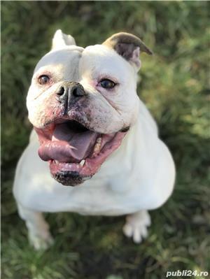 Femela bulldog american cu pedigree - imagine 4
