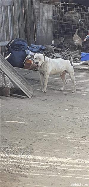 De vanzare dog argentinian - imagine 1