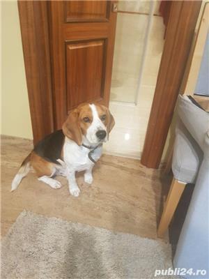 mascul Beagle pentru monta  - imagine 2