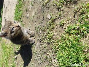 Pui de pisica pt adoptie - imagine 1