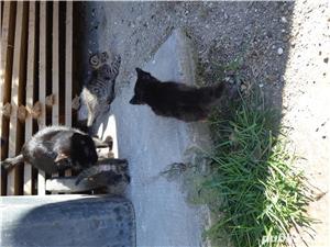 Pui de pisica pt adoptie - imagine 3