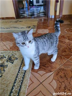 pisica british shorthair - imagine 1
