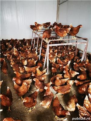 Pui, piuice, bibilici, găini.  - imagine 3