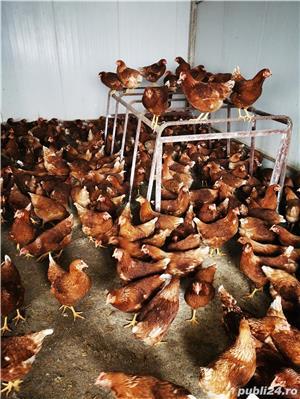Pui, piuice, bibilici, găini.  - imagine 5