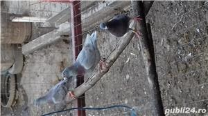 Porumbei voiajori  american  - imagine 4
