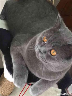 Motan British Shorthair Blue, din părinți cu pedigree, caut pisicuțe pt împerechere. - imagine 3
