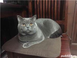 Motan British Shorthair Blue, din părinți cu pedigree, caut pisicuțe pt împerechere. - imagine 2
