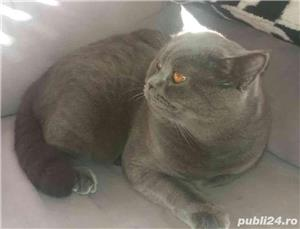 Motan British Shorthair Blue, din părinți cu pedigree, caut pisicuțe pt împerechere. - imagine 4