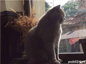 Motan British Shorthair Blue, din părinți cu pedigree, caut pisicuțe pt împerechere. - imagine 5