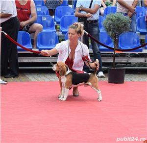 Pui Beagle cu pedigree - imagine 1