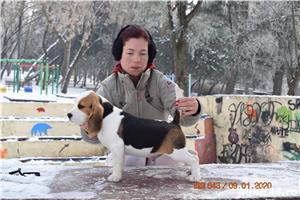 Pui Beagle cu pedigree - imagine 2