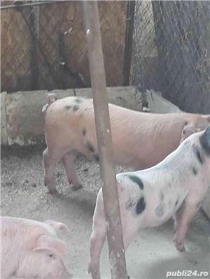 Porci/ Purcei  - imagine 4