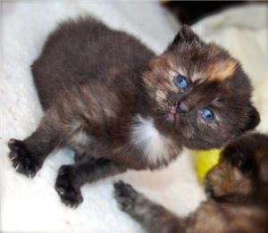 pisicute british chocolate tortie - imagine 2