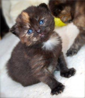 pisicute british chocolate tortie - imagine 1